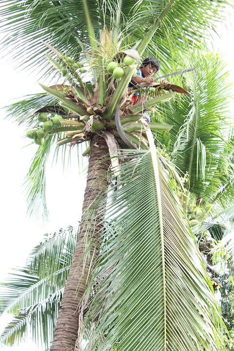 harvesting coconuts from tree in the Philippines