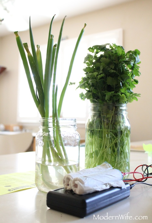 green onions and cilantro in mason jars next to the Hulda Clark Zapper