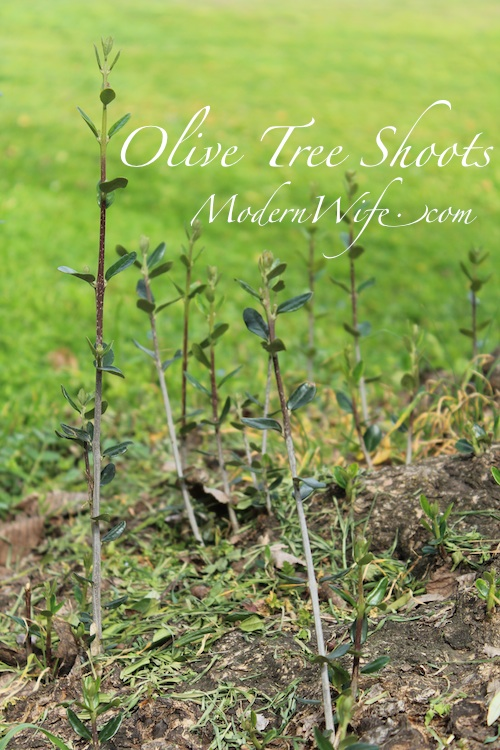 Olive Tree sprouting shoots
