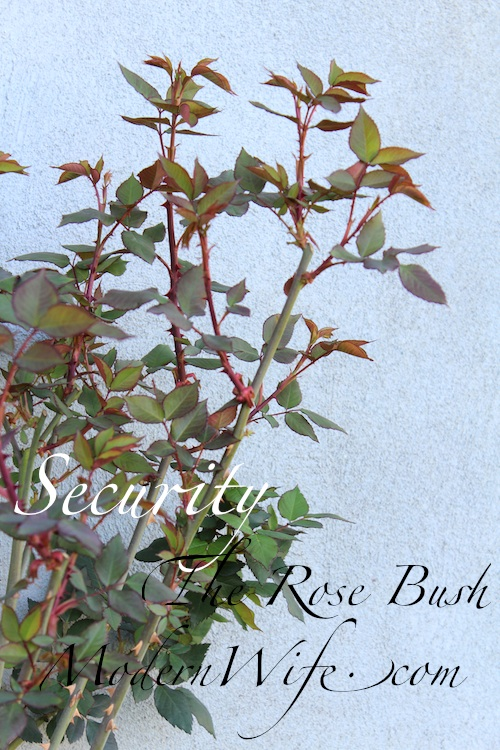 Security, the Rose Bush