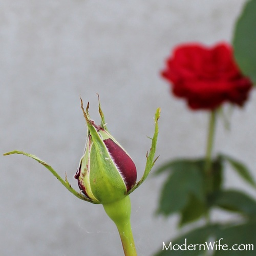 red rosebud