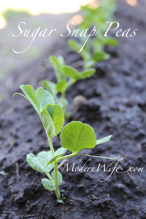 Sugar Snap Peas Sprouted and Growing
